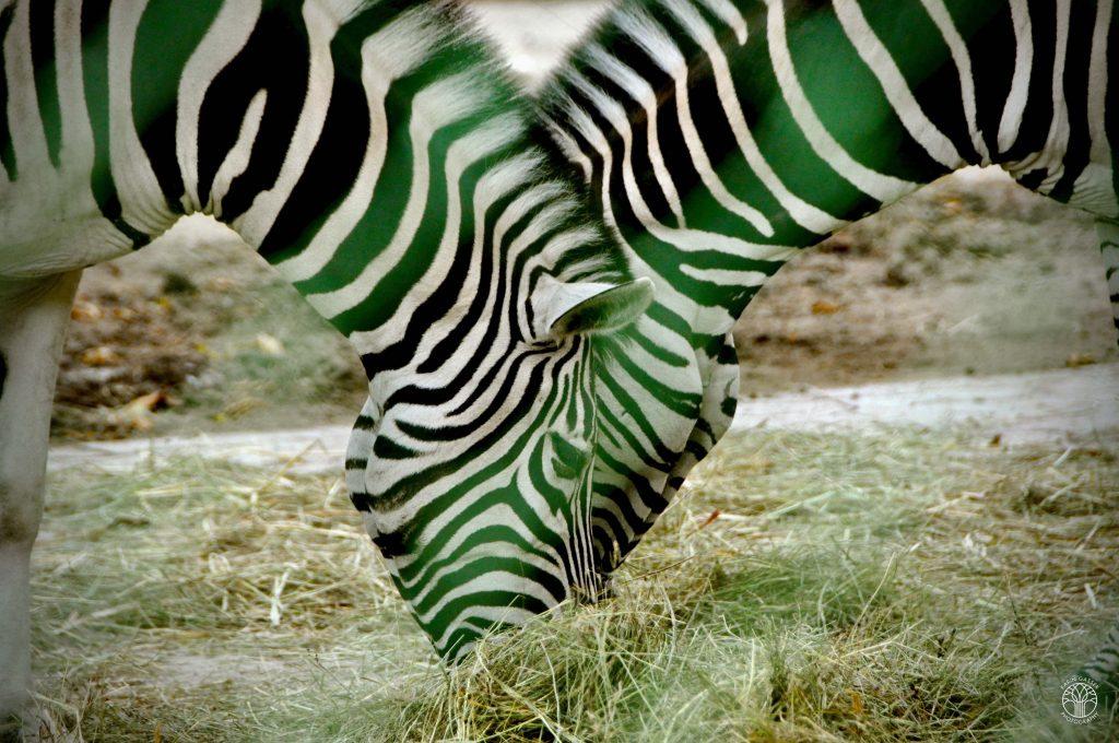 Wien Tierpark Schönbrunn Zebra (0054)