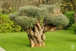 Olivenbaum Mallorca (0144)