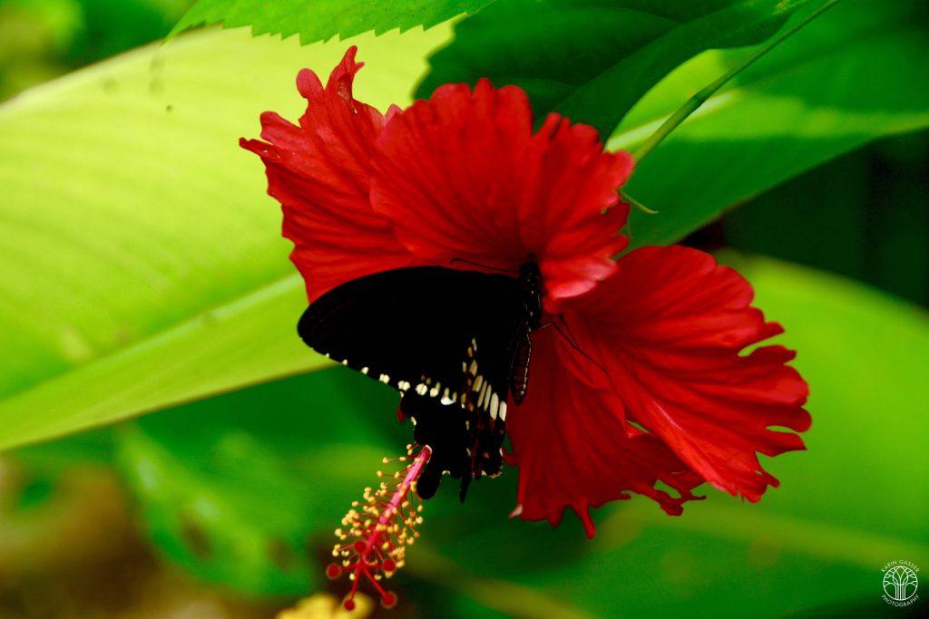 Sri Lanka Beruwela Schmetterling (5396)